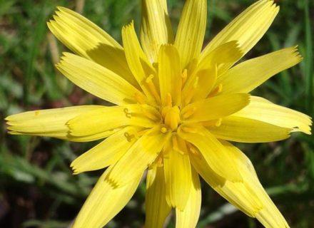 Murnong flower